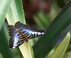 R.H.S Wisley Garden Butterfly