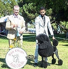 Poodle Grooming and Handling