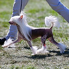 Chinese Crested Handling and dog grooming