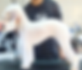 Bedlington Terrier groomer san diego