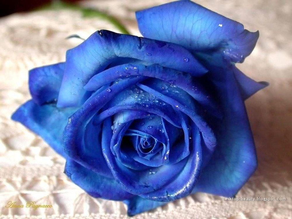 If you were wondering why I choose a blue rose instead of the traditional red, it's because it's a rare rose to find. Just as Ryan and I love.