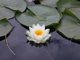 """""""The lotus is the most beautiful flower, whose petals open one by one. But it will only grow in the mud. In order to grow and gain wisdom, first you must have the mud --- the obstacles of life and its suffering. ... The mud speaks of the common ground that humans share, no matter what our stations in life. ... Whether we have it all or we have nothing, we are all faced with the same obstacles: sadness, loss, illness, dying and death. If we are to strive as human beings to gain more wisdom, more kindness and more compassion, we must have the intention to grow as a lotus and open each petal one by one. """" ― Goldie Hawn"""