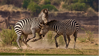 8Picture6zebra.png