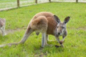 Kangaroo on Lewis Farm.jpg