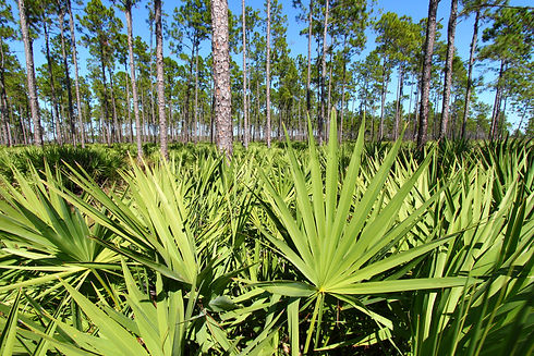 Saw Palmetto grows thick in the pine fla