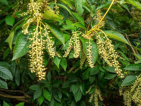 Sourwood (Oxydendrum arboreum) is the so