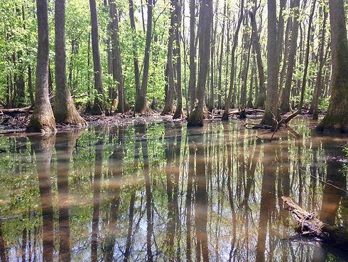 Tupelo trees in swamp.jpg