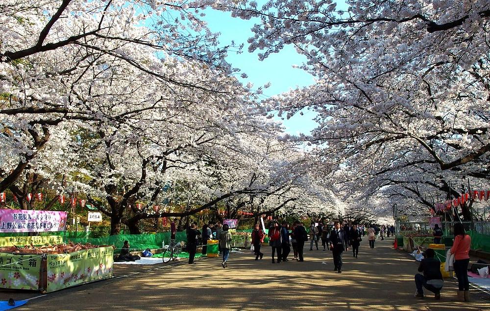Sakura a Ueno
