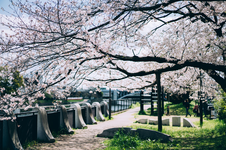 附近有一整排櫻花