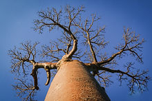 Photo Baobab-dreamstime.jpg