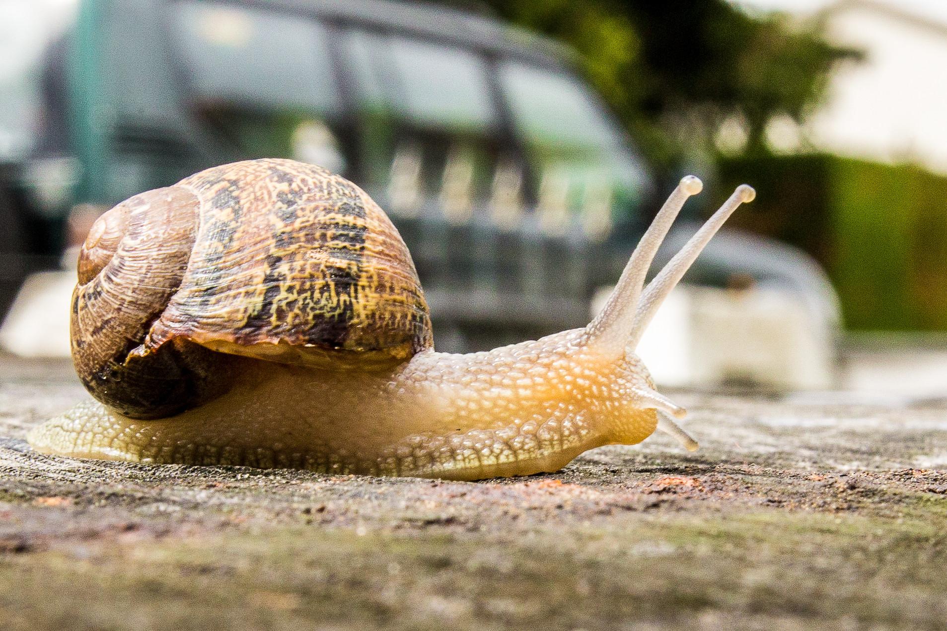 Snail (Helix aspersa)