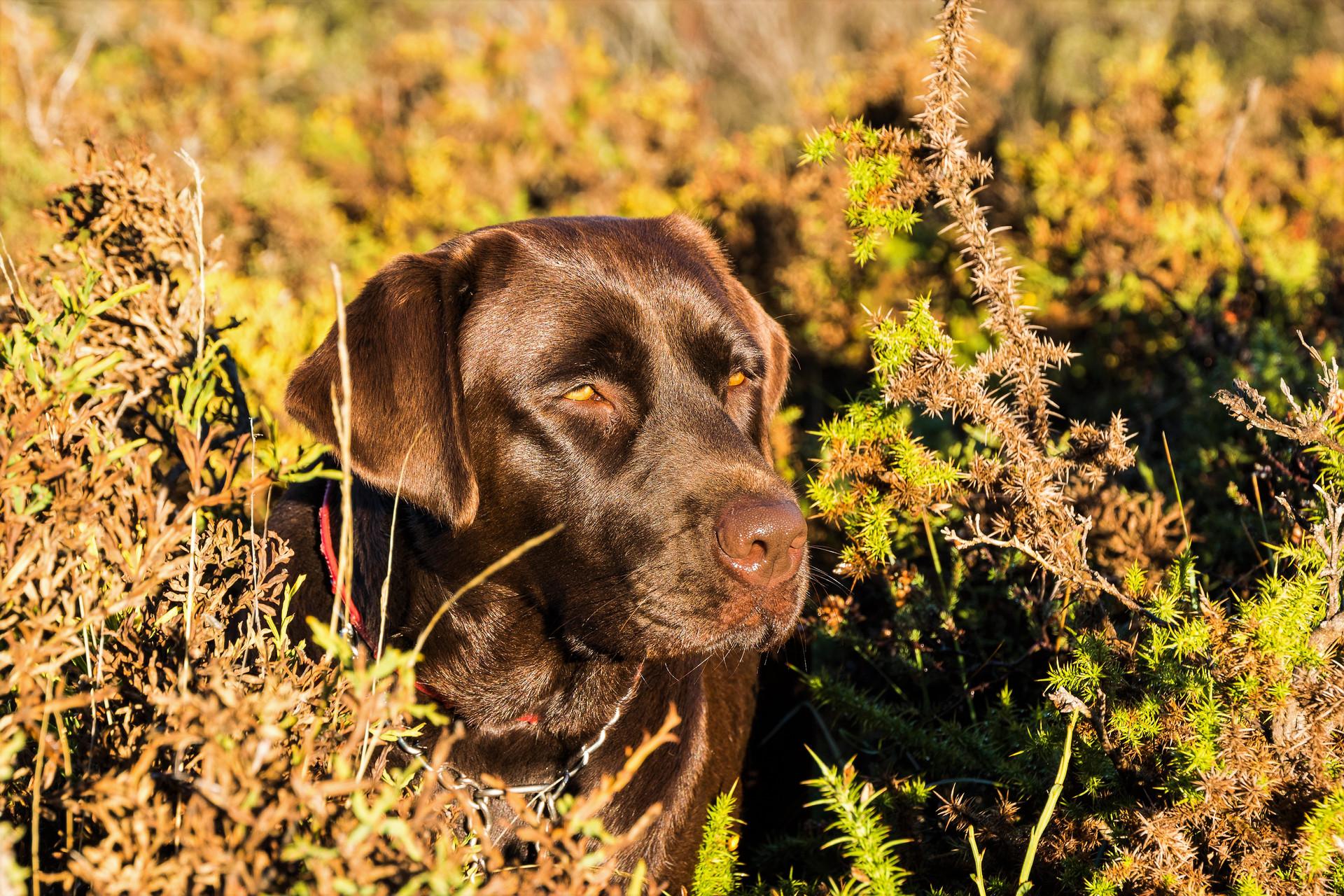 Laia, the brown labrador