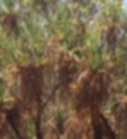 Pandanus tree.jpg