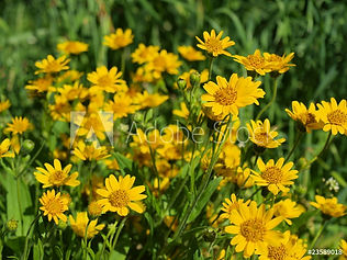 AdobeStock_23589018_Preview arnica.jpeg