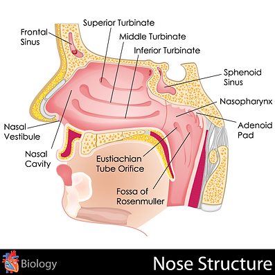 Nose Structure