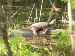 March-Felton-turtle.jpg