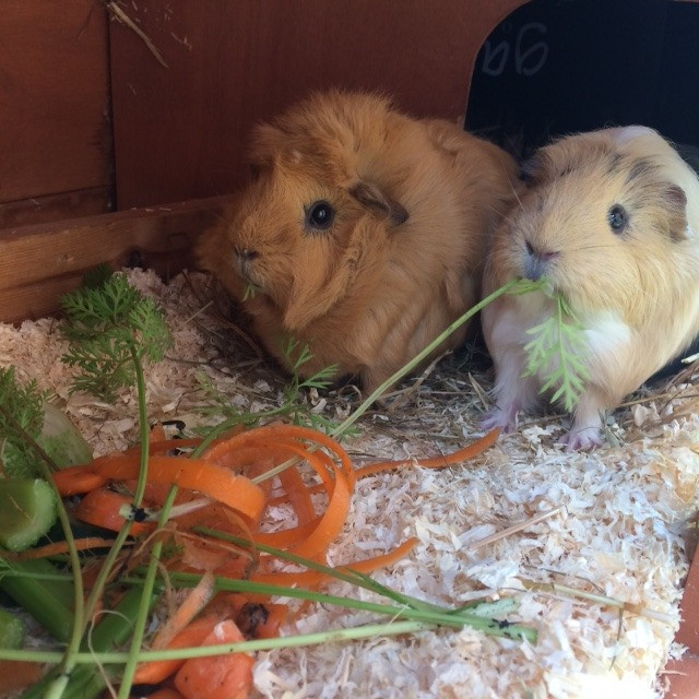 Happy Guinea Pigs with lots of scraps!