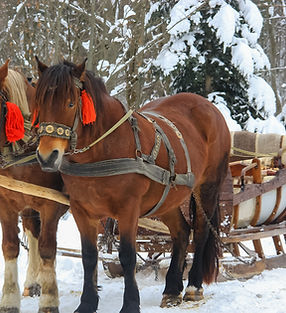 two beautiful walking horses in the snow