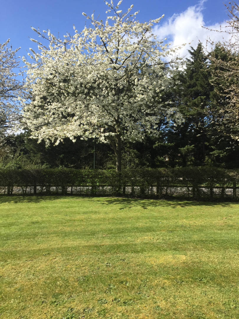 Loveliest of trees, the Cherry Now … Wearing white for Eastertide' (AE Houseman)