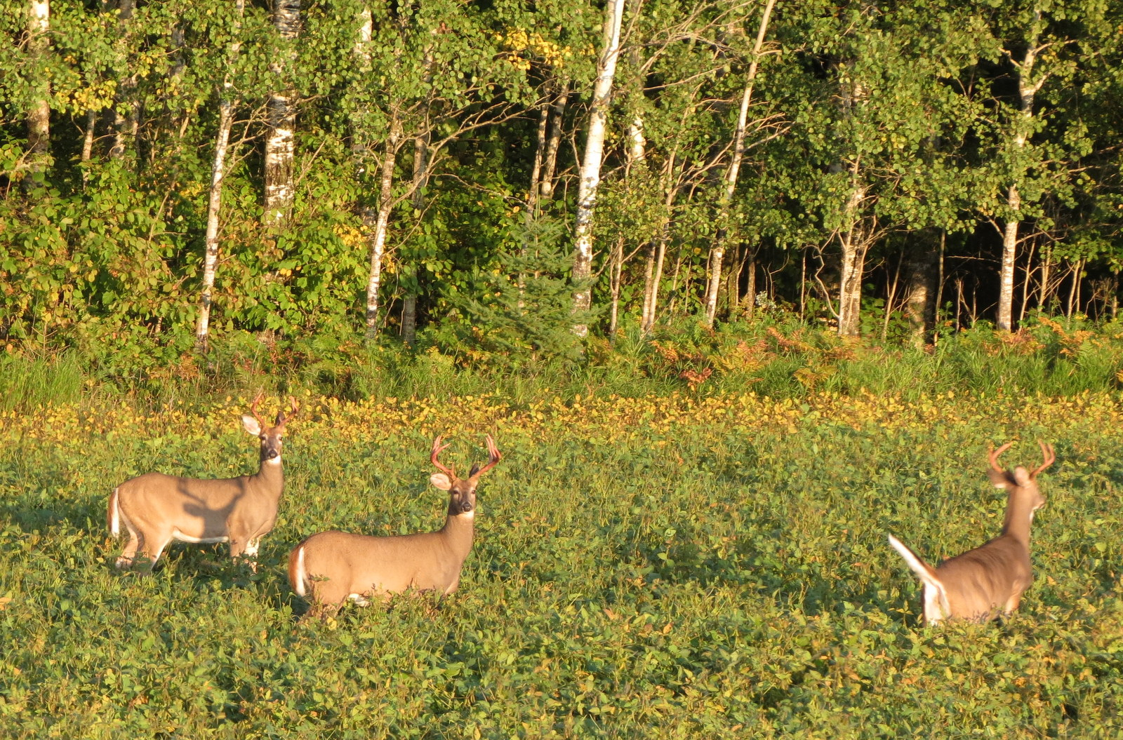 White Tail Deer all bucks