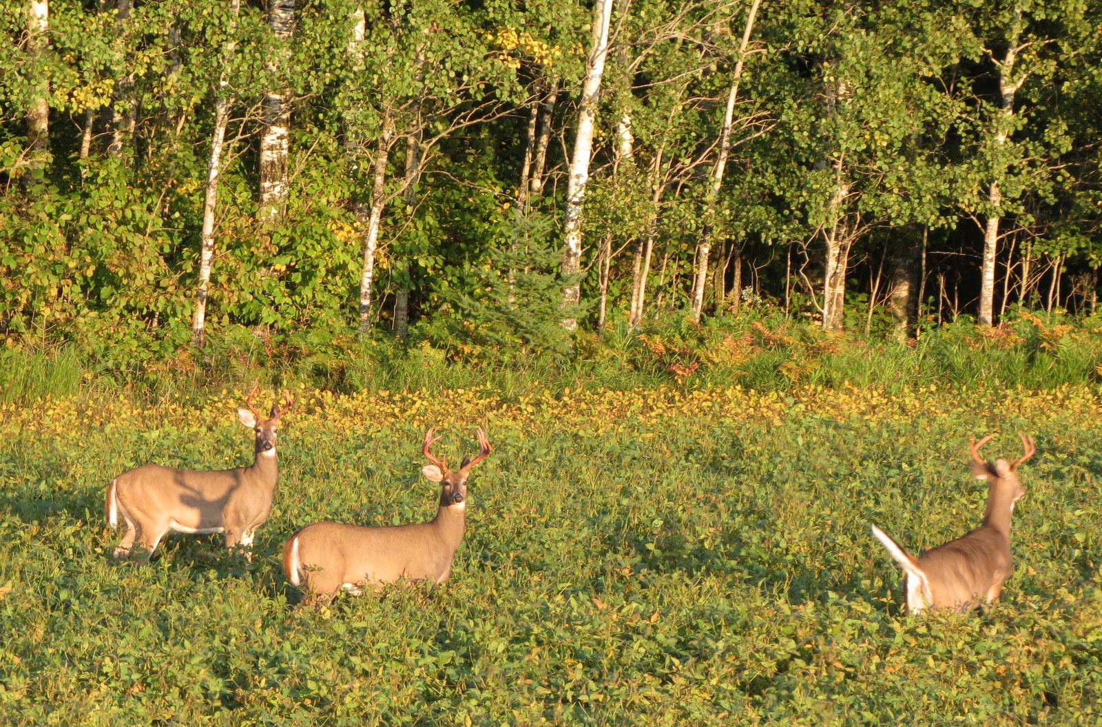 White Tail Deer all bucks