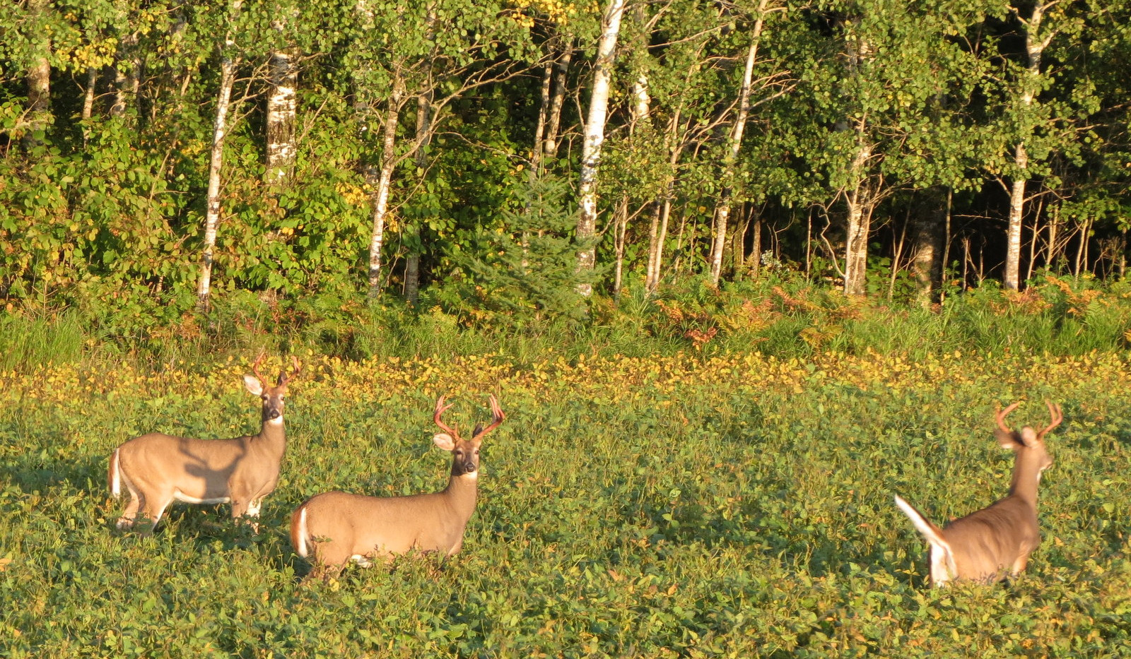 White Tail Deer all bucks.JPG