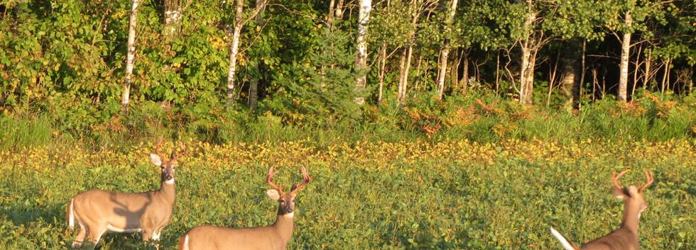 White Tail Deer all bucks.JPG