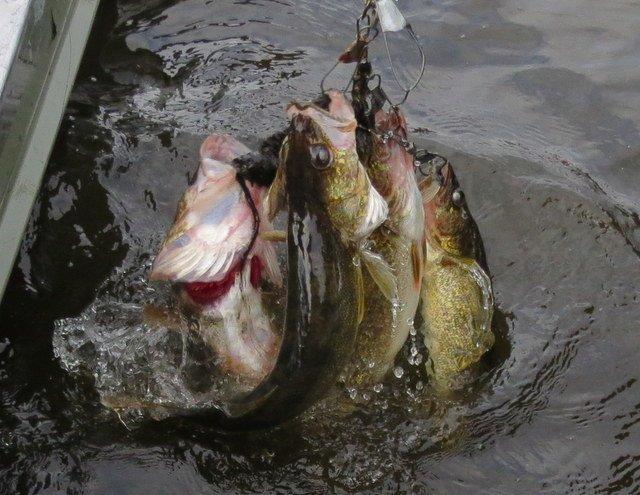 walleye-fishing