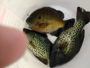 gills and crappies