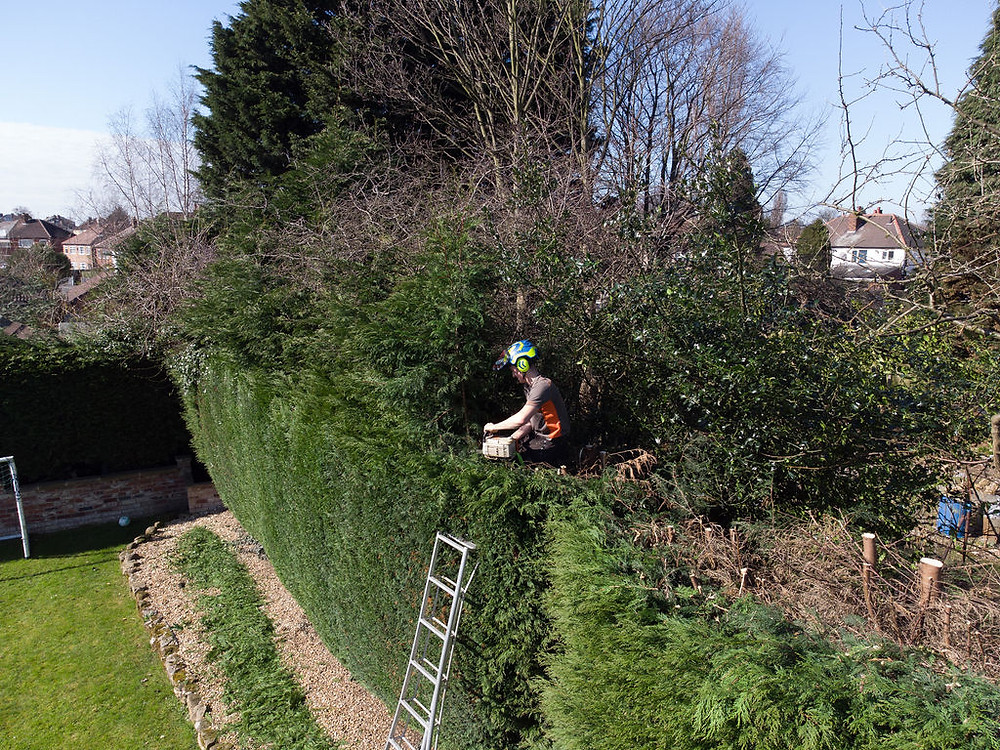 Tree surgeon using a chain saw for reducing a conifer hedge