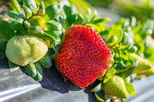 FBC3-Strawberries_sml.jpg