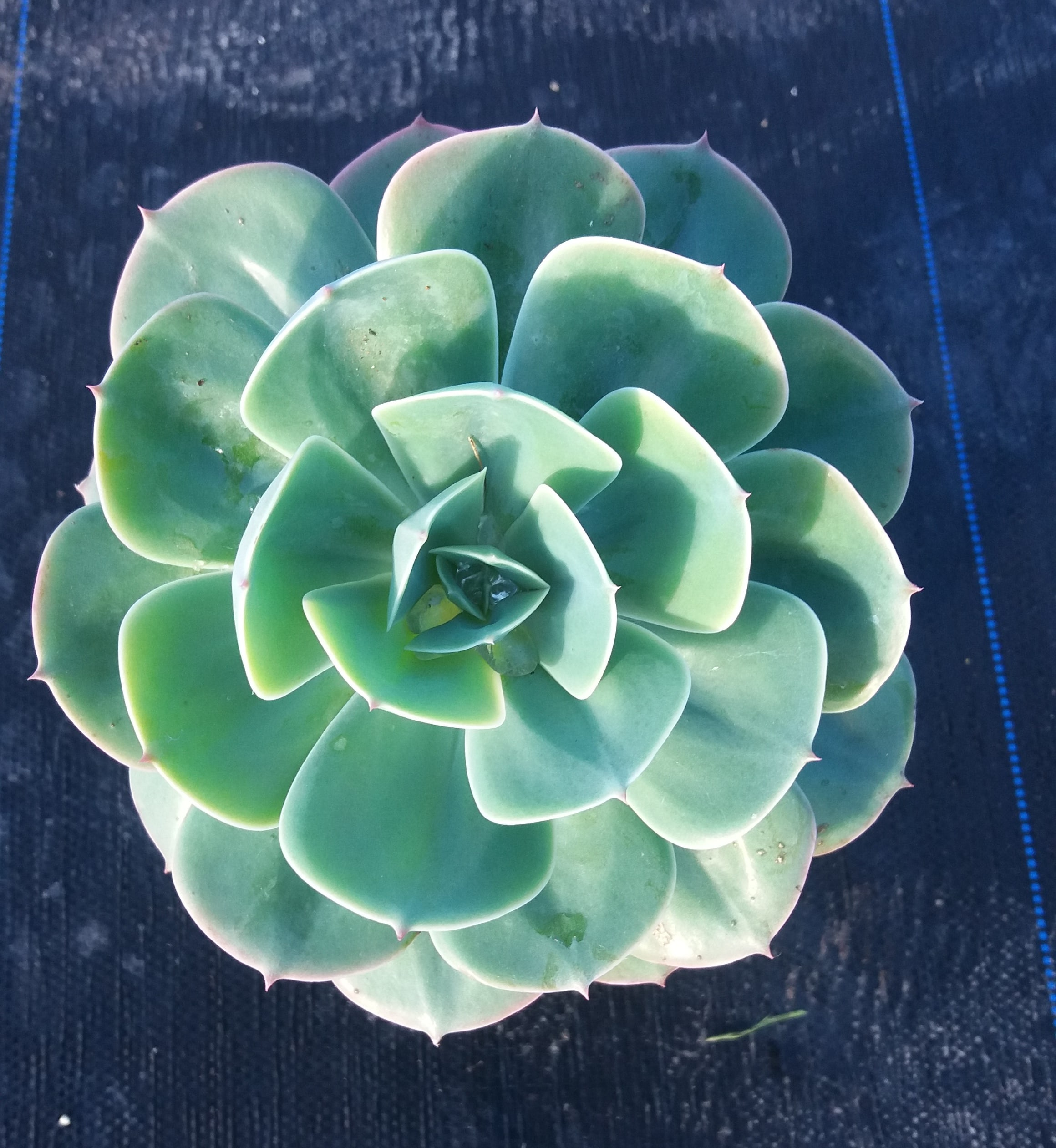 Echeveria Blue Rose