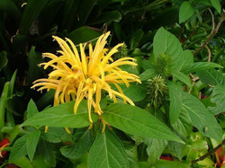 Jacobinia Aurea - Golden Plume