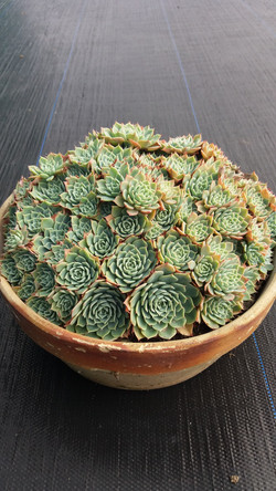 Echeveria Secunda - Large