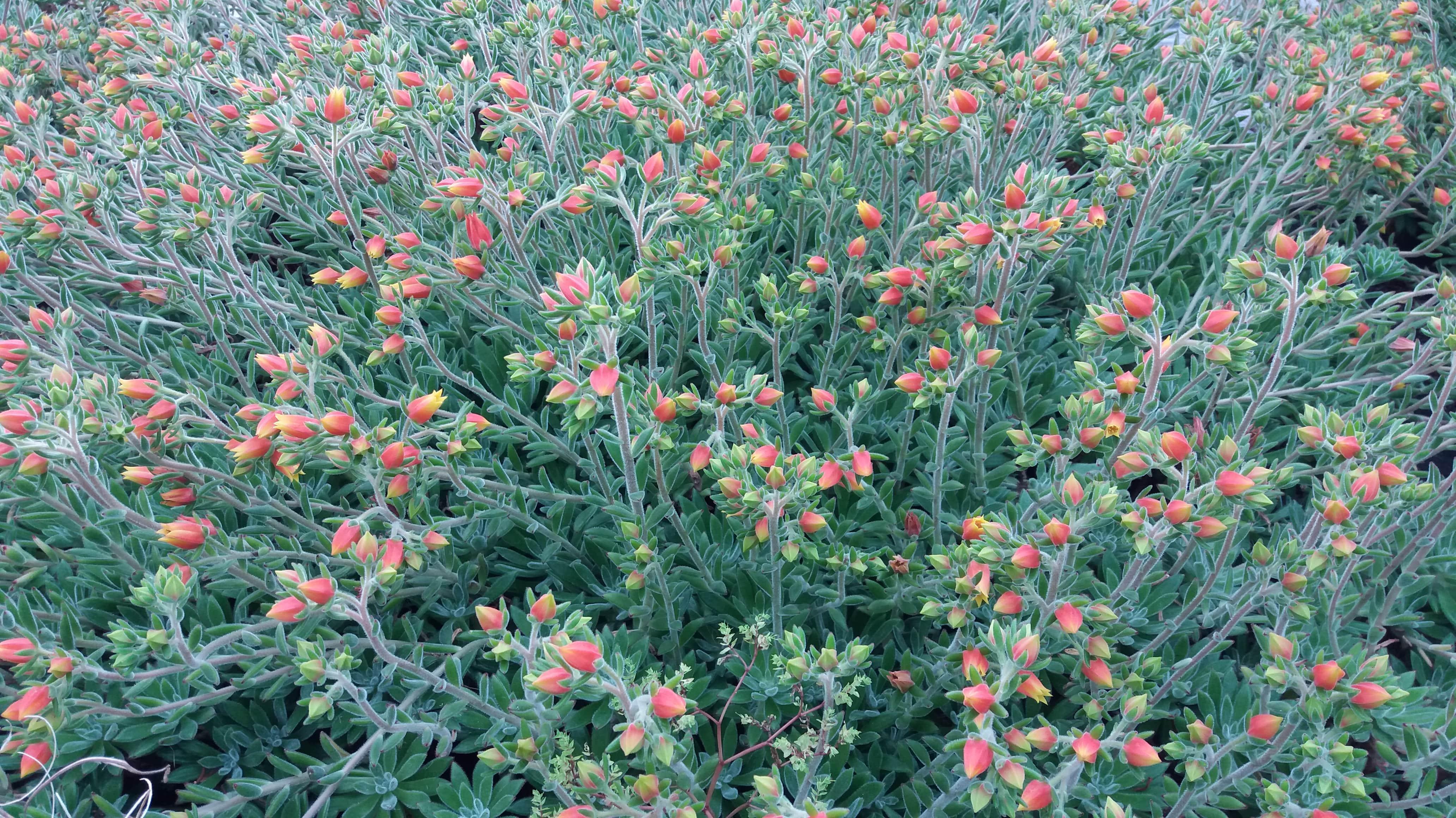Echeveria Pulivinata - Flowers 1-min