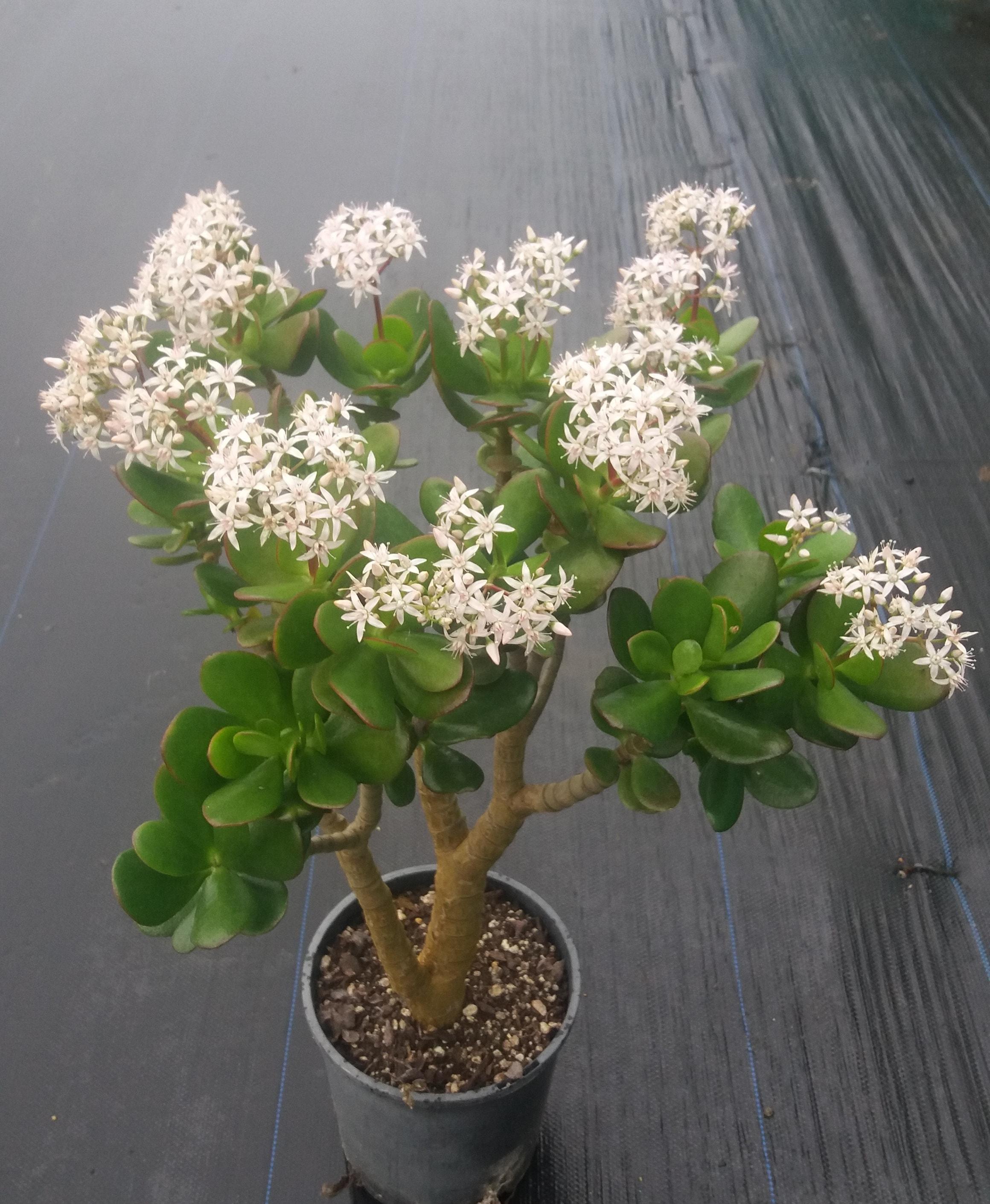 Crassula Ovata - Jade Tree