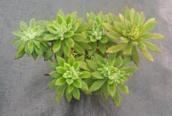 Echeveria Pulvinata