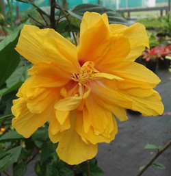 Golden Sun Hibiscus