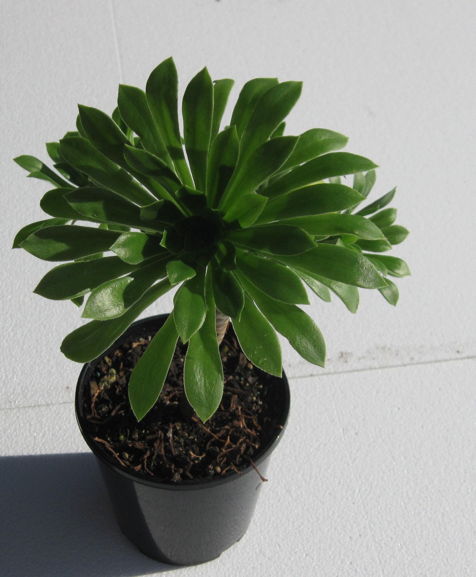 Aeonium Arboreum Marokko