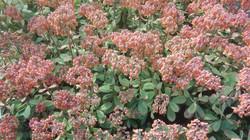 Kalanchoe Fedtschenkoi - in Flower