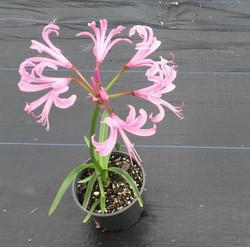 Nerine Bowdenii - Pink