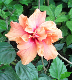 Hibiscus Flower - Orange