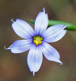 Sisyrinchium Angustifolium - Blue