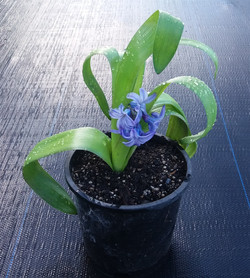 Hyacinth - Blue