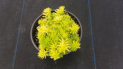 Golden Glow - Sedum Mexicanum