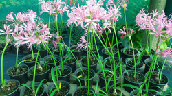 Nerine Bowdeii - Pink