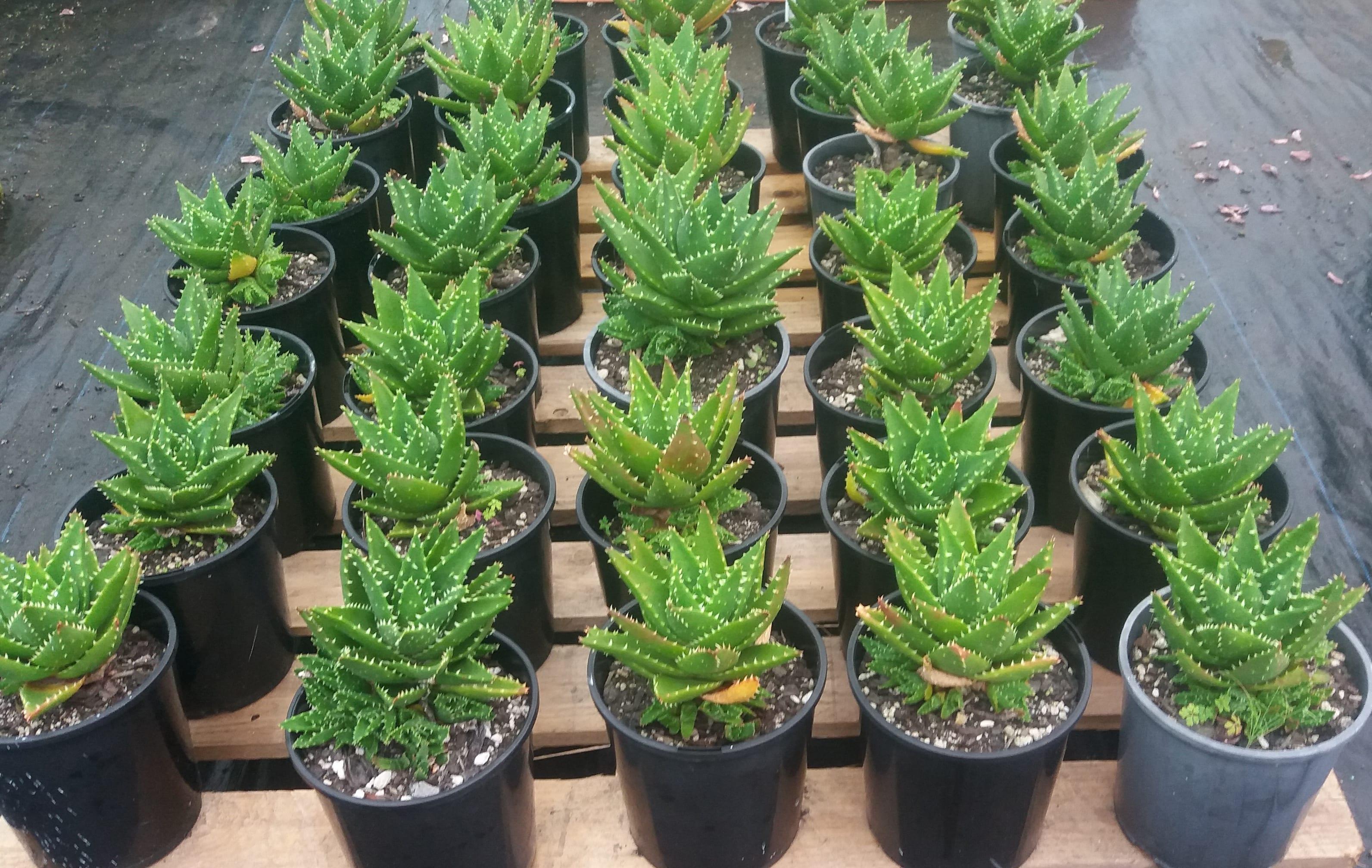 Aloe Nobilis