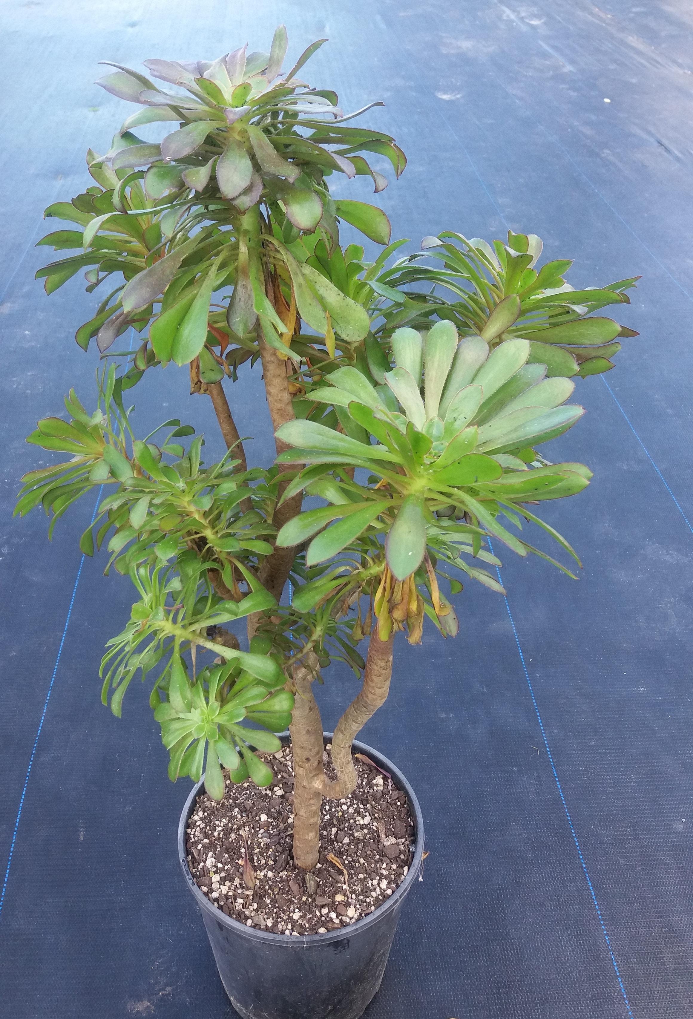 Aeonium Arboreum var Holochrysum