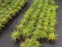 Aloe Spinossissima