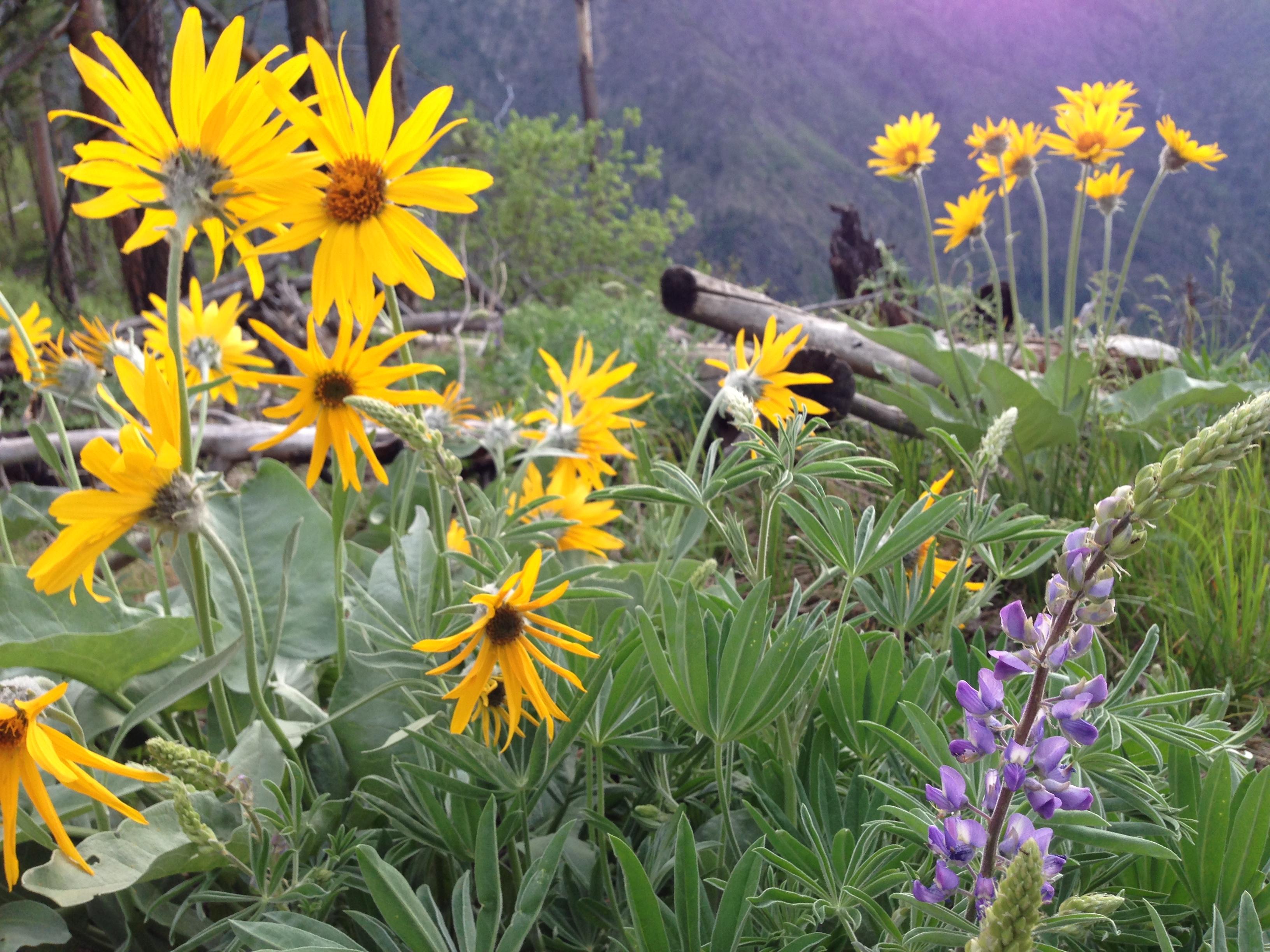 Wildflowers near Leavenworth